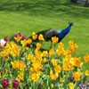 Juego online Jigsaw: Flowers And Peacock